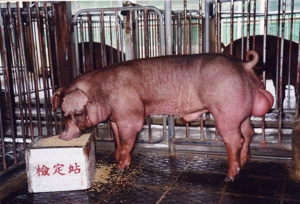 中央畜產會200405期D1252-08體型-全身相片