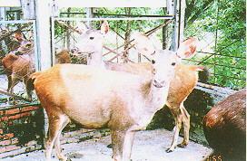 水鹿(Sambar Deer)(畜產種原庫及基因交流p86)