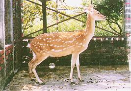 梅花鹿(Sika Deer)-  母鹿(畜產種原庫及基因交流p87)