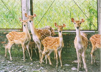 梅花鹿(Sika Deer)-  體型較小,屬群居性動物,警覺性高(畜產種原庫及基因交流p88)