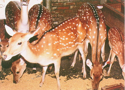 梅花鹿(Sika Deer)-  專人餵飼時,才稍可接近(1)(畜產種原庫及基因交流p88)