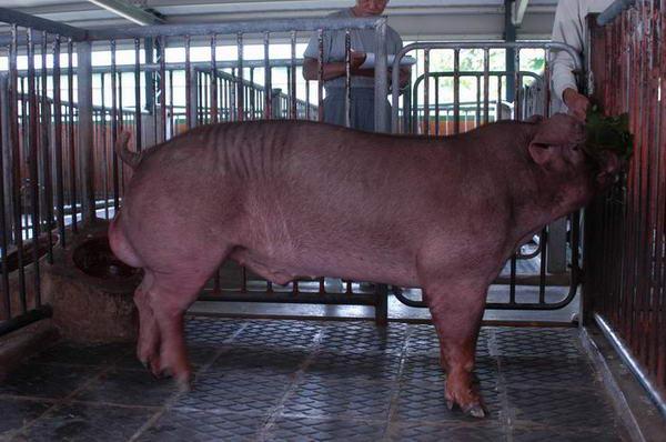中央畜產會200406期D0760-12體型-全身相片