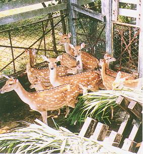 梅花鹿(Sika Deer)-  專人餵飼時,才稍可接近(2)(畜產種原庫及基因交流p88)