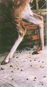 梅花鹿(Sika Deer)-  後肢曲度大,細瘦,善於奔躍,然易斷折(畜產種原庫及基因交流p88)