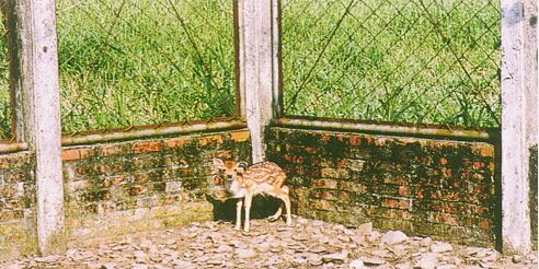 梅花鹿(Sika Deer)-  仔鹿具子斑(畜產種原庫及基因交流p89)