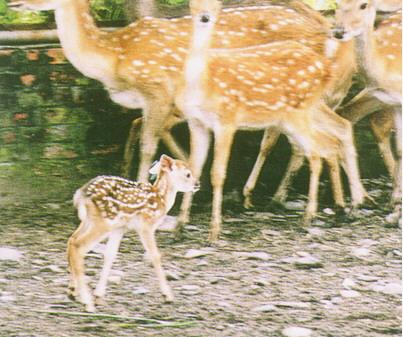 梅花鹿(Sika Deer)-  被毛為黃褐色底,白色斑點(畜產種原庫及基因交流p89)