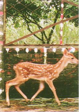 梅花鹿(Sika Deer)-  至2-3月齡才逐漸變成赭黃色底毛(畜產種原庫及基因交流p89)
