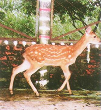 梅花鹿(Sika Deer)-  其生長速度亦加快(畜產種原庫及基因交流p89)