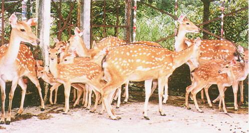 梅花鹿(Sika Deer)-  同群仔鹿,由群中母鹿共同哺育(畜產種原庫及基因交流p89)