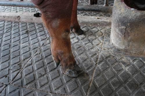 中央畜產會200407期D1287-10體型-四肢相片