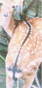 梅花鹿(Sika Deer) -且其兩側之白色斑點呈左右對稱(畜產種原庫及基因交流p91)
