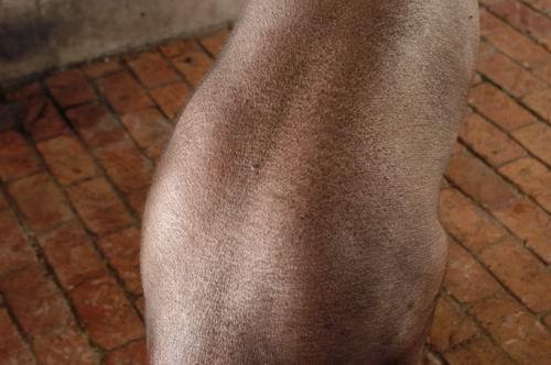 中央畜產會200409期D0517-03體型-體軀相片