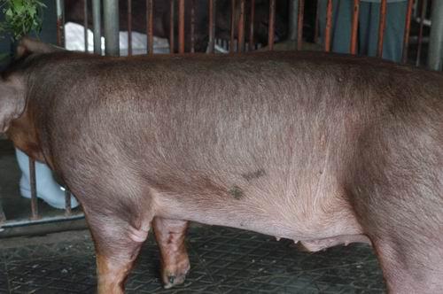 中央畜產會200410期D0241-01體型-體軀相片
