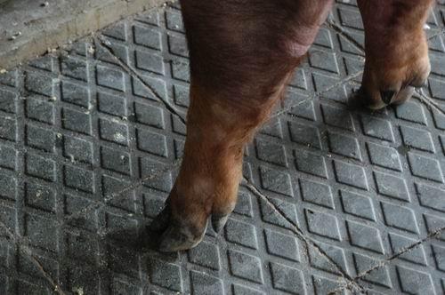 中央畜產會200410期D0241-01體型-四肢相片