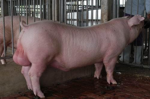 中央畜產會200410期D1138-05體型-全身相片