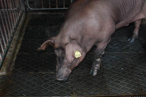 中央畜產會200411期D0300-01體型-頭頸相片