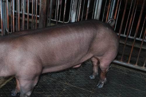 中央畜產會200411期D0300-01體型-體軀相片