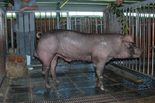 中央畜產會200411期D0590-03體型-全身相片