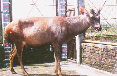 水鹿(Sambar Deer) -公鹿(畜產種原庫及基因交流p95)