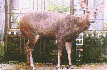 水鹿(Sambar Deer) -母鹿(畜產種原庫及基因交流p95)
