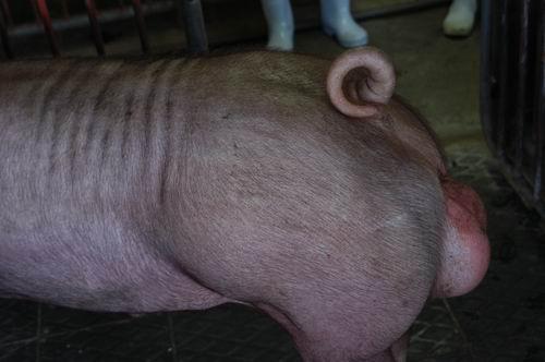 中央畜產會200411期D0846-02體型-尾根相片