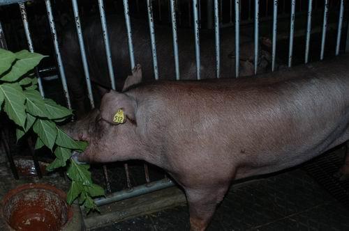 中央畜產會200411期D0846-05體型-頭頸相片