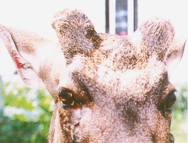 水鹿(Sambar Deer)(2)-成熟公鹿,其鹿角為實心叉角,橫段面呈不規則之圓型(畜產種原庫及基因交流p96)