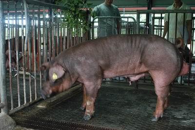 中央畜產會200501期D0505-04體型-全身相片