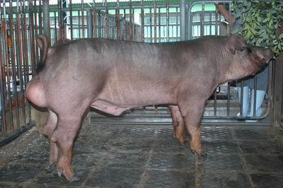 中央畜產會200501期D05005-05體型-全身相片