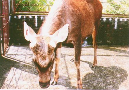 水鹿(Sambar Deer)(3)-成熟公鹿,其鹿角為實心叉角,橫段面呈不規則之圓型(畜產種原庫及基因交流p96)