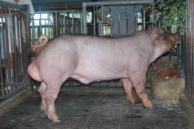 中央畜產會200501期D1163-03體型-全身相片