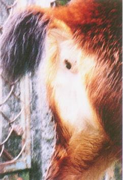 水鹿(Sambar Deer)(2) - 體型大,性溫順(畜產種原庫及基因交流p97)