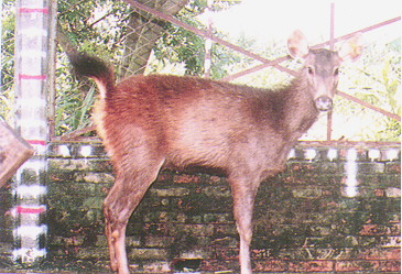 水鹿(Sambar Deer)(4) - 體型大,性溫順(畜產種原庫及基因交流p98)