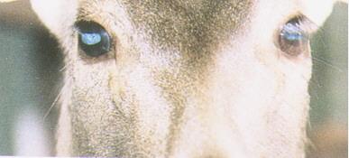 水鹿(Sambar Deer) (2)- 眼部下方有淚竅與鼻腔相通,公鹿較明顯,母鹿則較小(畜產種原庫及基因交流p98)