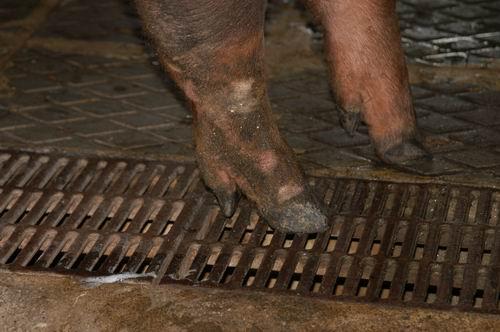 中央畜產會200504期D0635-05體型-四肢相片