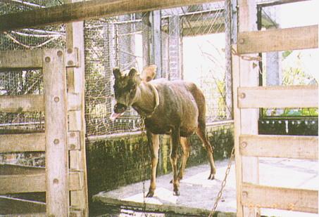 水鹿(Sambar Deer) (2)- 發情期間公鹿具攻擊性,而母鹿則不具攻擊性(畜產種原庫及基因交流p99)