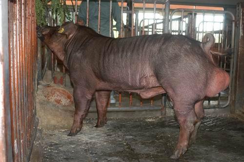 中央畜產會200505期D0679-03體型-全身相片