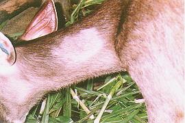 水鹿(Sambar Deer) - 餵飼精料情形(畜產種原庫及基因交流p101)