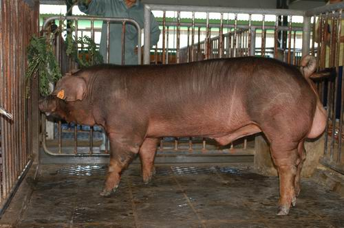 中央畜產會200505期D1529-09體型-全身相片
