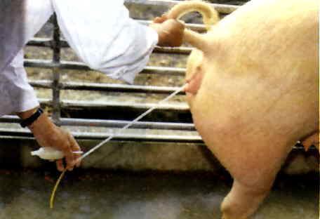 授精方式)-家畜禽人工生殖技術p28