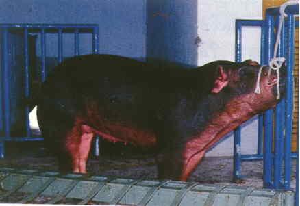 豬胚移置操作過程 - 手術採胚(1)