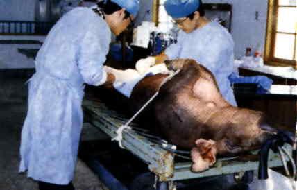豬胚移置操作過程 - 手術採胚(8)