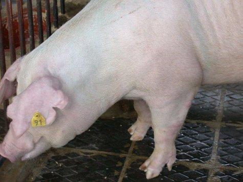 中央畜產會200205期L0559-04體型-頭頸相片