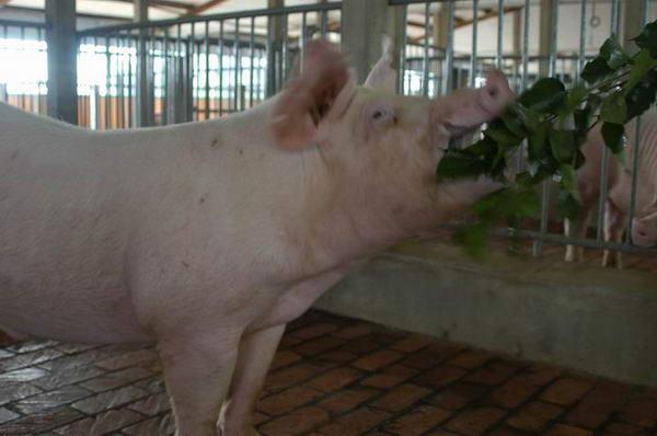 中央畜產會200406期L0281-08體型-頭頸相片