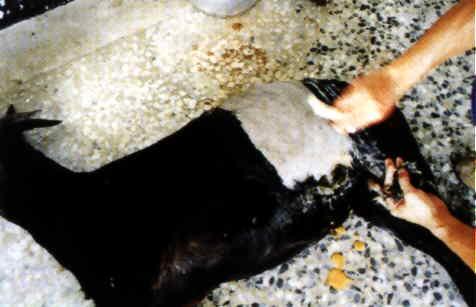 羊胚移置操作過程 - 半外科手術採集(1)