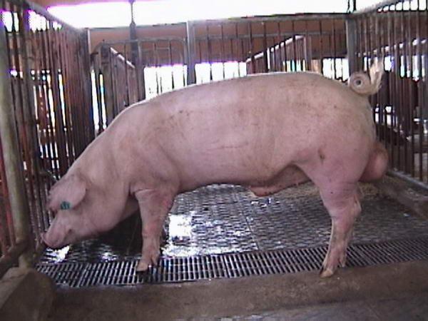 中央畜產會200005期L0084-11拍賣照片