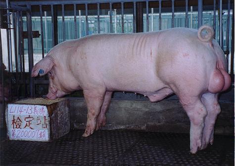 中央畜產會200007期L0114-13拍賣照片