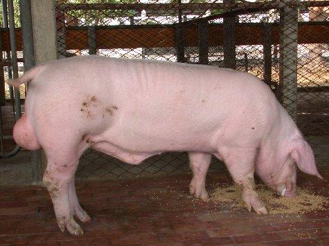 中央畜產會200207期L0013-04體型-全身相片