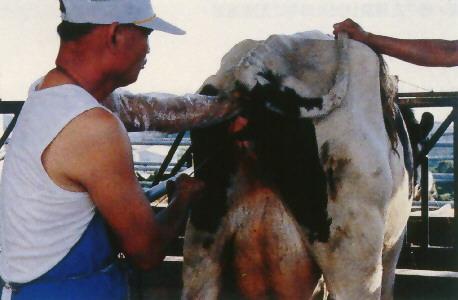 牛人工授精