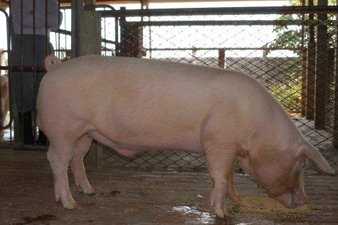 中央畜產會200211期L0443-09體型-全身相片